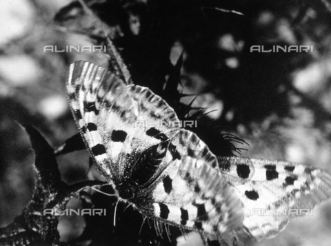 SDA-F-001391-0000 - Two butterflies on the leaf of a plant.