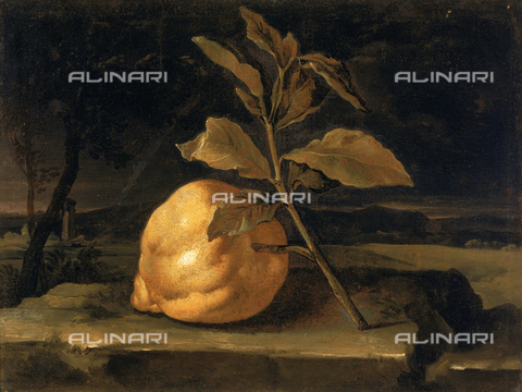 SEA-F-000259-0000 - Painting by an unidentified painter of a citron fruit, formerly in the Uffizi Gallery in Florence. Now in the Museum of Still Life (Natura Morta), deposits. - Date of photography: 1996 - Seat Archive/Alinari Archives, Reproduced with the permission of Ministero per i Beni e le Attività Culturali