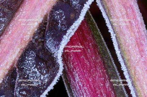 SPA-F-001119-0000 - triangoli nel gelo@Radicchio di Treviso Rosso Tardivo IGP