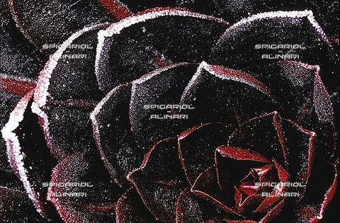 SPA-F-001121-0000 - rosa nera@Radicchio di Treviso Rosso Tardivo IGP