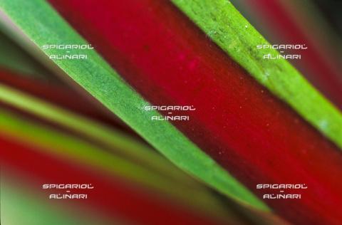 SPA-F-001124-0000 - rosso verde@Radicchio di Treviso Rosso Tardivo IGP