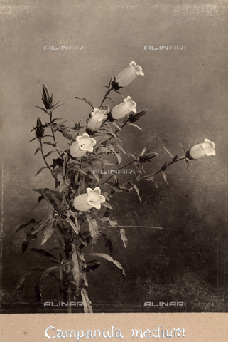 "TCA-F-00187V-0000 - ""Campanula Medium"". - Data dello scatto: 1910-1915 - Archivi Alinari, Firenze"