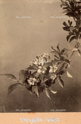 """TCA-F-00188V-0000 - """"Weigelia Rosea"""". - Data dello scatto: 1910-1915 - Archivi Alinari, Firenze"""