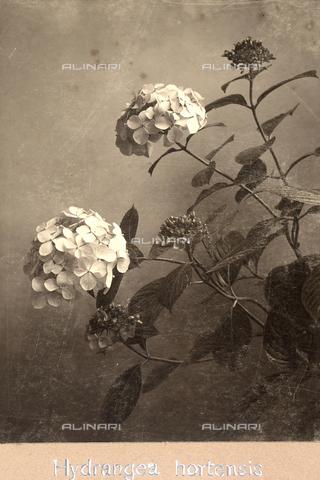 """TCA-F-00189V-0000 - """"Hydrangea Hortensis"""". - Data dello scatto: 1910-1915 - Archivi Alinari, Firenze"""