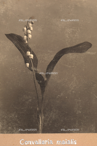 """TCA-F-00190V-0000 - """"Convallaria maialis"""". - Data dello scatto: 1910-1915 - Archivi Alinari, Firenze"""