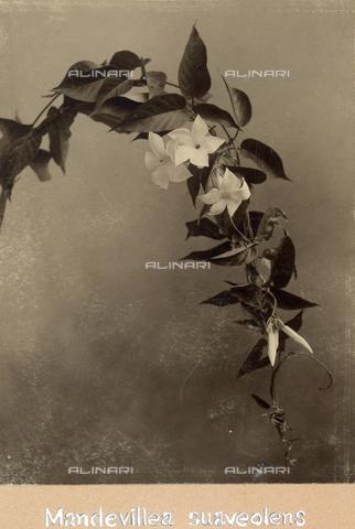 """TCA-F-00192V-0000 - """"Mondevillae suaveoleus"""". - Data dello scatto: 1910-1915 - Archivi Alinari, Firenze"""
