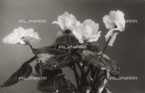 TCA-F-00195V-0000 - Four cyclamens with leaves and buds