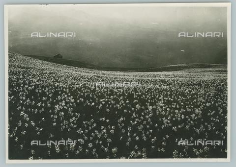 TCI-F-A04793-0000 - europa, italia, piemonte, monte cucco, i narcisi in fiore sulle colline biellesi, , 1920 - Touring Club Italiano/Gestione Archivi Alinari