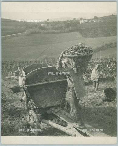 TCI-F-A11757-0000 - europa, italia, piemonte, monferrato aquese, vendemmia, 1955 - Touring Club Italiano/Gestione Archivi Alinari