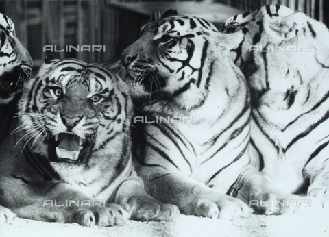 TEA-S-000883-0009 - Group of tigers in a zoo.