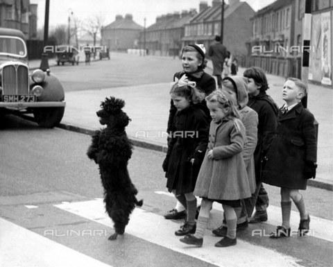TOP-F-436131-0000 - Skippy il barboncino ha un grande senso di responsabilità quando si tratta di sicurezza stradale e scorta i suoi compagni sulle strisce pedonali a Heston nel Middlesex. 10 marzo 1954. Generale, Sicurezza stradale - Data dello scatto: 10/03/1954 - 2005 / TopFoto / Archivi Alinari