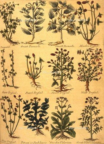 TOP-F-926193-0000 - Tipologie di piante all'interno dell'edizione del 1805 dell'Erbario Completo di Nicholas Culpeper (1616-1654) - Charles Walker / TopFoto / Archivi Alinari