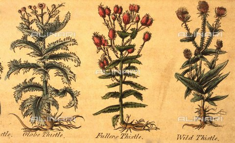 TOP-F-926205-0000 - Three types of plants within the 1805 edition of the Herbarium Complete by Nicholas Culpeper (1616-1654) - Charles Walker / TopFoto / Alinari Archives