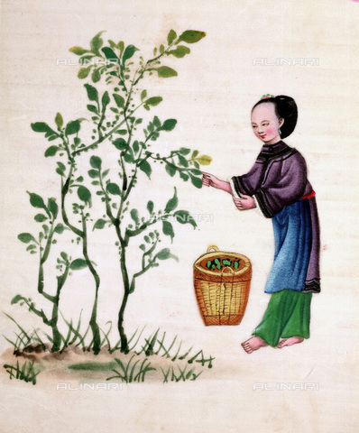 UIG-F-033627-0000 - Raccolta delle foglie di gelso per nutrire i bachi da seta, pittura cinese su carta di riso del XIX secolo - UIG/Archivi Alinari
