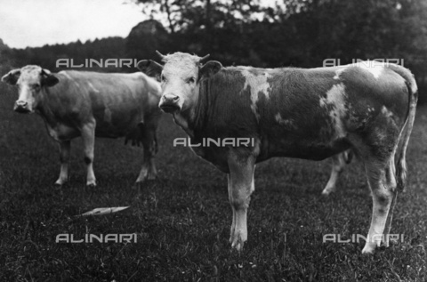 ULL-F-833800-0000 - Simmental Cattle - Data dello scatto: 1907 - Ullstein Bild / Alinari Archives