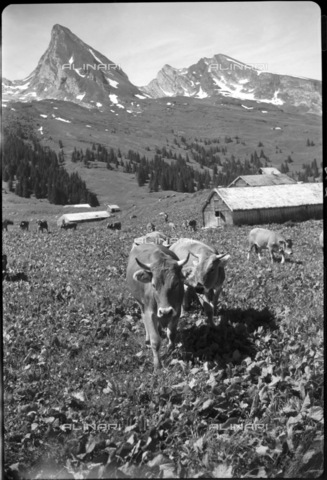 ULL-S-000671-7741 - Grazing in Saanen - Data dello scatto: 27/07/1940 - RDB / Lindroos / Ullstein Bild / Alinari Archives