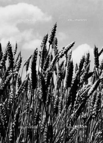VAA-F-002332-0000 - Spike of wheat