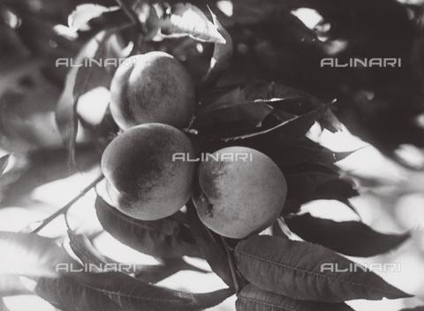 VAA-F-002490-0000 - Consorzi agrari. Roma. Pesche - Data dello scatto: 1950-1960 ca. - Archivi Alinari, Firenze