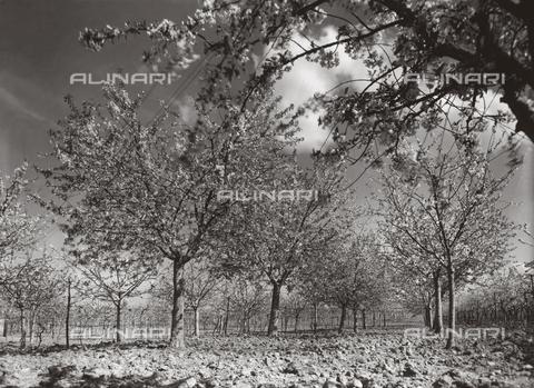VAA-F-002495-0000 - Frutteto in fiore - Data dello scatto: 1950-1960 ca. - Archivi Alinari, Firenze