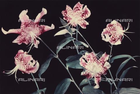 VAA-F-003152-0000 - Lilies