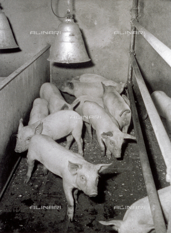 VBA-S-000201-0031 - Group of piglets in a pigpen