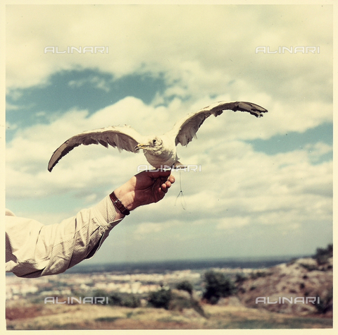 VBA-S-000466-0006 - A seagull perched on the hand of a man. In the background, a marine landscape is visible.