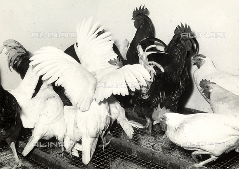 VBA-S-007366-0012 - Groups of roosters and some hens on top of a cage at a ranch.