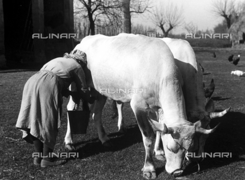 VBA-S-053000-0007 - Livestock: scene by hand milking a cow by a woman