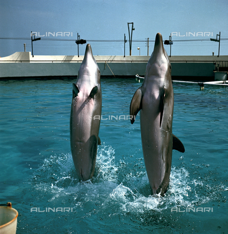 VBA-S-D00A96-0001 - Dolphins during a performance at the Riccione Aquarium