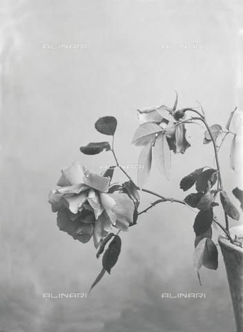 tca-f-000442-0000 - Rose