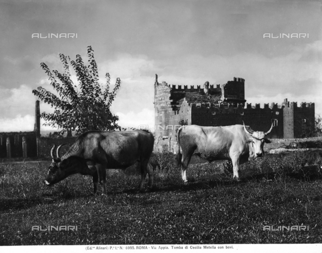 Two oxen grazing on Via Appia at the gates of Rome, behind them one can catch a glimpse of the Cecilia Metella Mausoleum