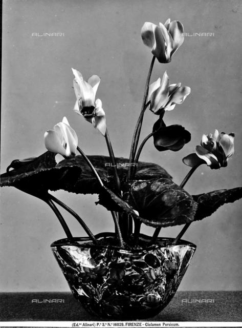 Stem with Ciclamen Persicum bloom.