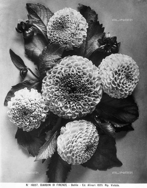 Shoot with Dahlia flowers.