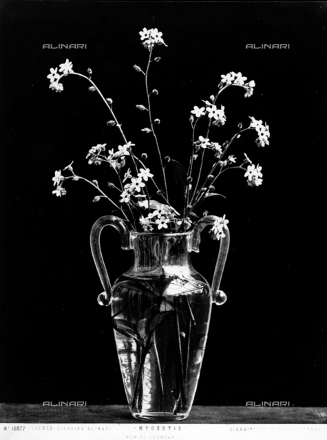 """Bunch of Myosotis, commonly called """"Forget me nots"""" in a vase."""