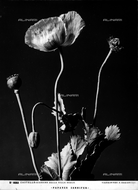 """Example of """"Papever Sonnifer"""", poppy of the Gardens."""