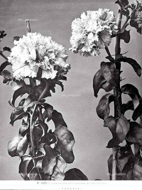 Stems of flowering Petunias.