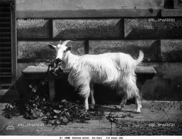 A grazing goat