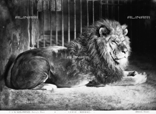 A lion named Nero in his cage