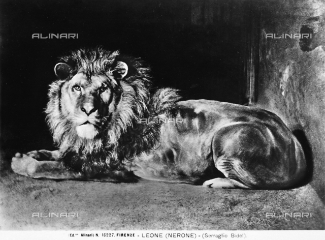 A lion named Nero in his cage. Florence