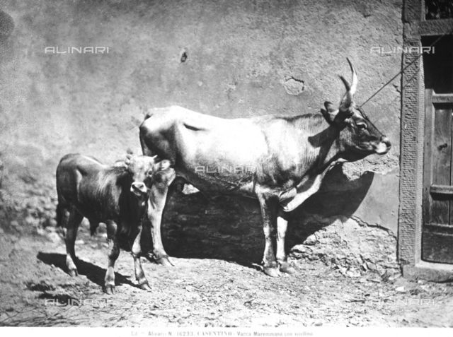 A Maremmana cow with its calf, Casentino, Arezzo