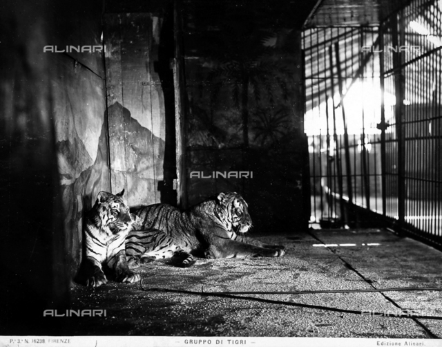 Two tigers in a cage.
