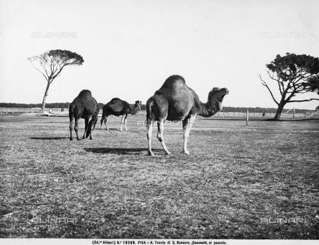 Camels in the San Rossore estate, Pisa