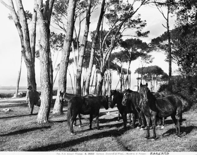 Estate of Coltano. Drove of colts