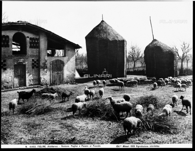 Restone (Figline Valdarno). Haystacks and grazing sheep