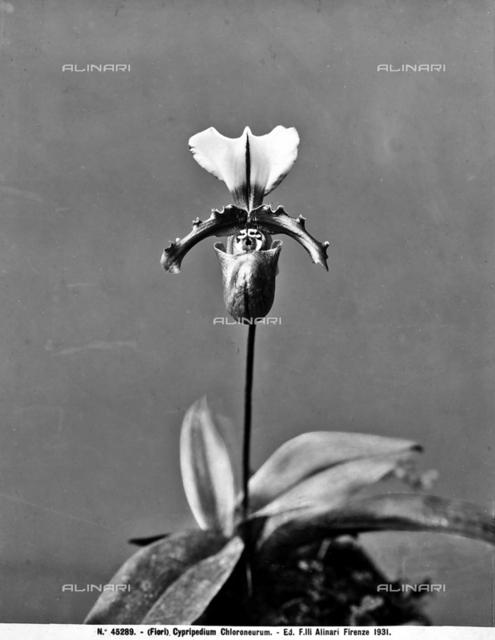 Cypripedium Chloroneurum (orchid), Florence.