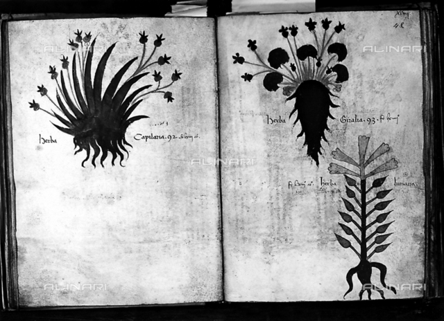 Page of an antique botanical book with watercolored grassy plants. The book is preserved in the Botanical Institute in Florence. The picture was taken during the Exhibition of Science History in 1929, in Florence.