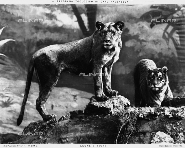 A tiger and lion at the Carl Hagenbeck Zoo