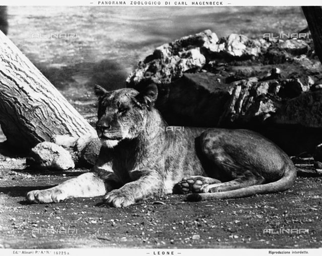 A lioness at the Carl Hagenbeck Zoo