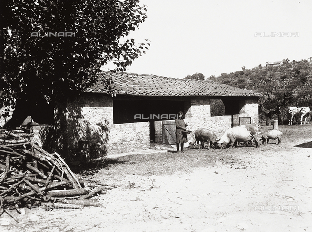 A girl feeding the pigs at the farm of Baron Giovanni Ricasoli Firidolfi di Brolio, in the province of Siena.