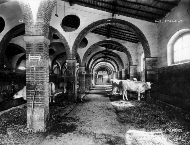 Cows in the cowshed of the public slaughter, Florence